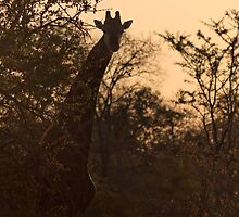 Giraffe at Dusk by raredevice