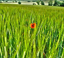 Poppy in a corn field by Thomas Gelder