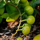 Green Tomatoes by AnnDixon
