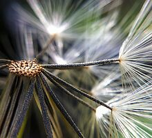 Dandelion Core by Mino Widodo