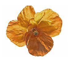 Poppy flower head. by Avril Harris