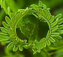 Crown fern by Jean-Paul Boudreau