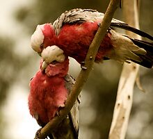 Galahs Preening by Fred O'Donnell