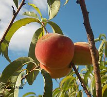 Summer Peaches by Rhonda Wood