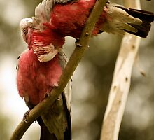 Galahs Preening #2 by Fred O'Donnell