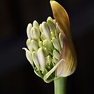 flower-white-agapanthus-bud by Joy Watson