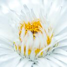 White Flower by Susan Tong