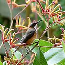 Eastern Spinebill & Kangaroo Paws by Trish Meyer