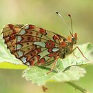Pearl-Bordered Fritillary Butterfly (underside), Herefordshire by Michael Field