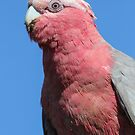 Female Galah by Kym Bradley