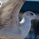 Seagull Taking Off by Sean Paulson