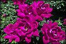 Beautiful Roses by AuntDot