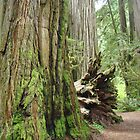 REDWOOD Trees Art Prints Redwoods Forest gifts by BasleeArtPrints