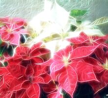 Mixed color Poinsettias 3 Angelic by Christopher Johnson