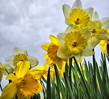 Field of Daffodils by Chris Donner