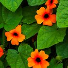 Black eyed Susan bright orange flowers by Martyn Franklin