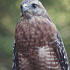 Red Shouldered Hawk II by Denise Worden