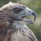 Red Tail Hawk  by Denise Worden