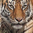 Tia Tiger, Conservators Center, NC by Denise Worden