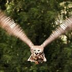 Barking Owl in flight by DavidsArt