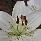 Lily sp. by Julie Sherlock