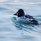 Female Common Goldeneye Duck at Harbourfront by Gerda Grice