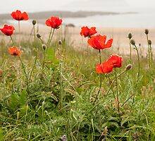 Berwick Poppies by maxblack