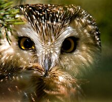 Northern Saw-whet Owl by Owl-Images