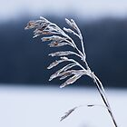 Frozen Grass Silhouette by Mike Koenig