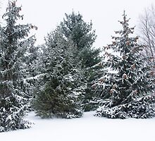 Snow Covered Pine Trees by Mike Koenig