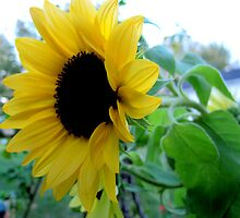 Sunflower by Kathie McCurdy