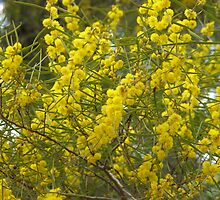Mallee wattle by Dreamanon