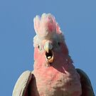 Juvenile Galah  feed time sqwarking for parent by Kym Bradley