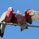 Juvenile Galah Just fed  by Kym Bradley