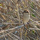 A Bird in the Reeds by kibishipaul