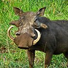 Male Warthog by vivsworld