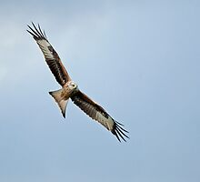Red Kite Soaring Right by Sue Robinson