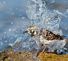 Ruddy Turnstone by Shelley Pearson