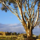 Eucalyptus-near Wangaratta, Victoria. by johnrf