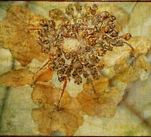 Iced Lace Cap Hydrangea by MotherNature2