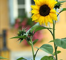 Sunflower in front of a house by Amadeus-ch