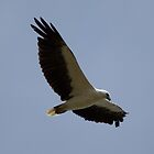 Adult  Sea Eagle 22/12/2013 by Kym Bradley