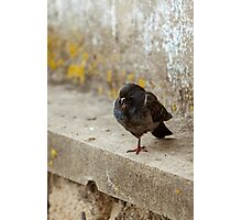 one leg pigeon Photographic Print