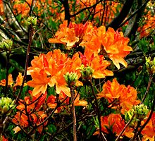orange azalea flowers by kukkamoon