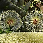 Banksia Wheels by kalaryder