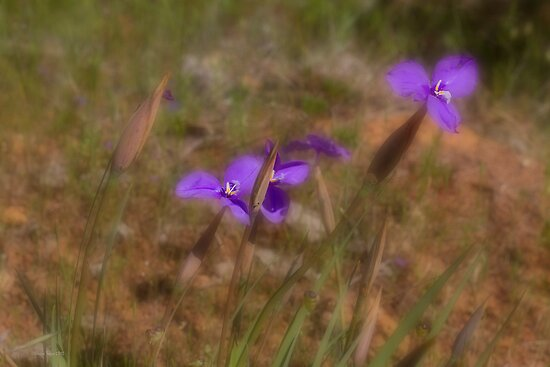 Silky Purple Flags (Patersonia sericea) by Elaine Teague