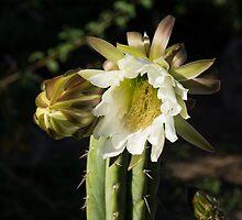 Delicate Luminous Cactus Blossom  by Georgia Mizuleva
