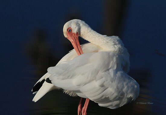 The Ibis Preen by Deborah  Benoit