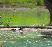 Male Wood Duck by NatureGreeting Cards ©ccwri