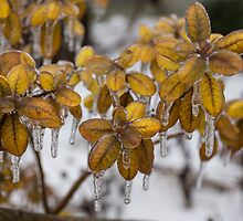 Ice Storm 2013 - Frozen Azalea Leaves  by Georgia Mizuleva